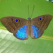 Blue-winged Eurybia Butterfly - Photo (c) Paola Carrera, some rights reserved (CC BY-NC)