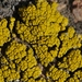 Sagebrush Goldspeck Lichen - Photo (c) James Bailey, some rights reserved (CC BY-NC)