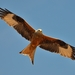 Red Kite - Photo (c) Noel Reynolds, some rights reserved (CC BY)