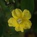 Merremia gemella - Photo (c) tern911, algunos derechos reservados (CC BY-NC)