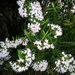 Veronica diosmifolia - Photo no rights reserved