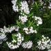Veronica diosmifolia - Photo Oikeuksia ei pidätetä