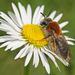 Early Mining Bee - Photo (c) Rachel, some rights reserved (CC BY-NC-ND)