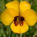 Viola pedunculata - Photo (c) Paul Meidinger, algunos derechos reservados (CC BY-NC-SA)