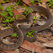 Rough-scaled Snake - Photo (c) QuestaGame, some rights reserved (CC BY-NC-ND)