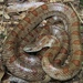 Prairie Kingsnake - Photo (c) Justin Lee, some rights reserved (CC BY-NC)