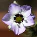 Gilia tricolor - Photo (c) Philip Bouchard, algunos derechos reservados (CC BY-NC-ND)