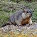 Marmota del Himalaya - Photo (c) pfaucher, algunos derechos reservados (CC BY-NC)