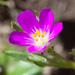 Calandrinia menziesii - Photo (c) Ken-ichi Ueda, algunos derechos reservados (CC BY)