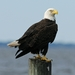 Bald Eagle - Photo (c) matlacha, some rights reserved (CC BY-NC-SA)