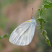 Indian Cabbage White - Photo (c) CheongWeei Gan, some rights reserved (CC BY-NC)