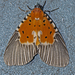 Broad-winged Tiger Moth - Photo (c) Vijay Anand Ismavel, some rights reserved (CC BY-NC-SA), uploaded by Dr. Vijay Anand Ismavel MS MCh
