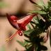 Anisacanthus thurberi - Photo (c) Patrick Alexander,  זכויות יוצרים חלקיות (CC BY-NC-ND)