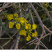 Cottsia gracilis - Photo (c) Gary Nored, alguns direitos reservados (CC BY-NC)