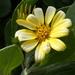 Osteospermum moniliferum rotundatum - Photo (c) Nick Lambert, algunos derechos reservados (CC BY-NC-SA)