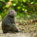 Formosan Rock Macaque - Photo (c) Liu JimFood, some rights reserved (CC BY-NC)