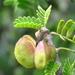 Porlieria chilensis - Photo (c) Salvador Velásquez, μερικά δικαιώματα διατηρούνται (CC BY-NC)