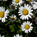 Haller's Ox-Eye Daisy - Photo (c) Michael Wunderli, some rights reserved (CC BY)