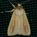 Adjutant Wainscot - Photo (c) Monica Krancevic, some rights reserved (CC BY-NC)