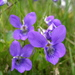 Common Dog-Violet - Photo (c) Ulrika, some rights reserved (CC BY)
