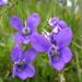 Viola riviniana - Photo (c) Ulrika, algunos derechos reservados (CC BY)