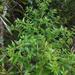 Haloragis erecta erecta - Photo Δεν διατηρούνται δικαιώματα