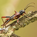 Plagithmysus bilineatus - Photo (c) Steven Mlodinow, algunos derechos reservados (CC BY-NC)
