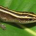 Azure-tailed Skink - Photo Photographer: Chris Brown, USGS, no known copyright restrictions (public domain)
