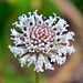 Snow Squarestem - Photo (c) Bob Peterson, some rights reserved (CC BY-SA)