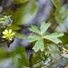 Ranunculus macropus - Photo (c) John B, algunos derechos reservados (CC BY-NC)