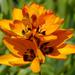 Ixia maculata - Photo (c) James Gaither, algunos derechos reservados (CC BY-NC-ND)