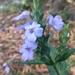 Eranthemum pulchellum - Photo (c) swanand kesari, algunos derechos reservados (CC BY-NC)