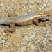 Cape Arboreal Spiny Lizard - Photo (c) Roberto Sindaco, some rights reserved (CC BY-NC-SA)