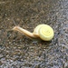 Bradybaena fortunei - Photo (c) plusq, μερικά δικαιώματα διατηρούνται (CC BY-NC)