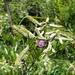 Mundulea barclayi - Photo (c) Guy Eric Onjalalaina, algunos derechos reservados (CC BY-NC)