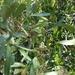 Neocussonia bojeri - Photo (c) Guy Eric Onjalalaina, alguns direitos reservados (CC BY-NC)