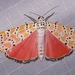 Utetheisa ornatrix - Photo (c) Laura Gaudette, μερικά δικαιώματα διατηρούνται (CC BY)