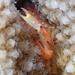 Trapezia bidentata - Photo (c) sea-kangaroo, osa oikeuksista pidätetään (CC BY-NC-ND)