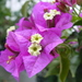 Lesser Bougainvillea - Photo (c) user:Lumbar, some rights reserved (CC BY-SA)