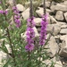 Purple Loosestrife - Photo (c) fahrenheit_66, some rights reserved (CC BY-NC-SA)