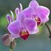 Orquídeas Mariposa - Photo (c) Irene Grassi, algunos derechos reservados (CC BY-SA)