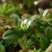 Cerastium semidecandrum - Photo (c) --Tico--, algunos derechos reservados (CC BY-NC-ND)