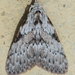 Nolidae - Photo (c) Vijay Anand Ismavel,  זכויות יוצרים חלקיות (CC BY-NC-SA), uploaded by Dr. Vijay Anand Ismavel MS MCh