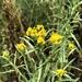 Euthamia occidentalis - Photo (c) Aaron Echols,  זכויות יוצרים חלקיות (CC BY-NC)