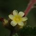 Waltheria indica - Photo (c) 葉子, osa oikeuksista pidätetään (CC BY-NC-ND)