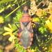 Mardania sanguinosa - Photo (c) Colin Ralston, algunos derechos reservados (CC BY-NC)