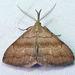 Phalaenostola metonalis - Photo (c) Diane P. Brooks, μερικά δικαιώματα διατηρούνται (CC BY-NC-SA)