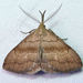 Pale Phalaenostola Moth - Photo (c) Diane P. Brooks, some rights reserved (CC BY-NC-SA)