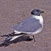 Sabine's Gull - Photo (c) Jerry Oldenettel, some rights reserved (CC BY-NC-SA)