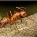 Μυρμηγκίδες - Photo (c) Gerónimo Martín Alonso, μερικά δικαιώματα διατηρούνται (CC BY-NC-ND)